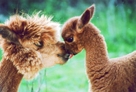 Ruby and Cherry Alpaca mother and baby